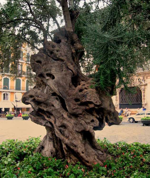 »Der alte Olivenbaum vor dem Rathaus in Palma«, Foto © Friedhelm Denkeler 2003
