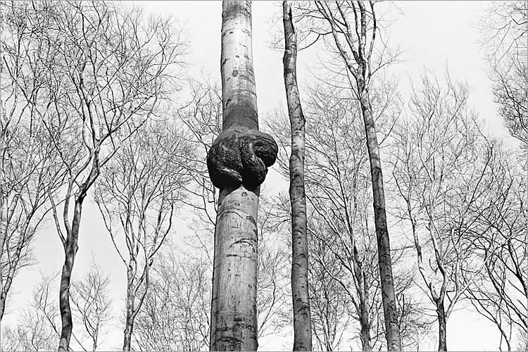 »Der Baumalb II«, aus dem Portfolio »Der Elmgeist«, Foto © Friedhelm Denkeler 1980
