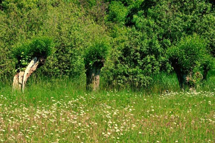 »Drei alte Weidenbäume – Ein letztes Sommerfoto«, Britzer Garten, Berlin, Foto © Friedhelm Denkeler 2010