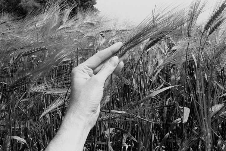 »Ährenfeld II«, aus dem Portfolio »Sommer in einer Hand«, Foto © Friedhelm Denkeler 1985