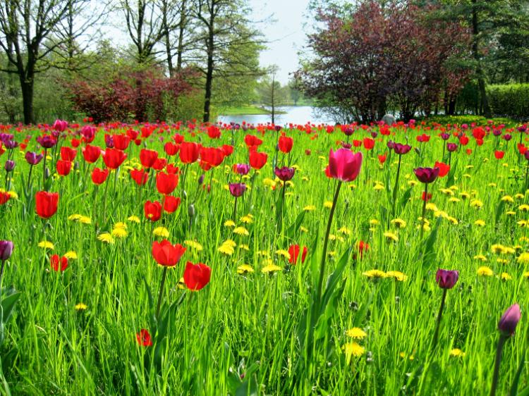 »Tulpen im Britzer Garten«, Berlin, Foto © Friedhelm Denkeler 2006