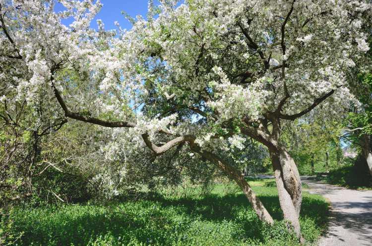 »Blühender Baum im Carl-Blechen-Park«, Cottbus, Foto © Friedhelm Denkeler