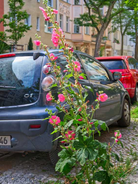 »Straßenstockrose», Berlin-Steglitz, Foto © Friedhelm Denkeler 2019